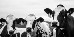 drei schwarz weiße Kühe