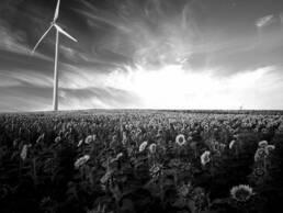 Windrad auf Sonnenblumenfeld